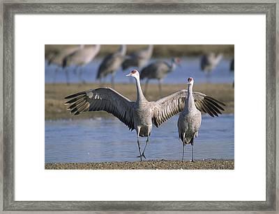 Sandhill Cranes Roost Along The Platte Framed Print by Joel Sartore