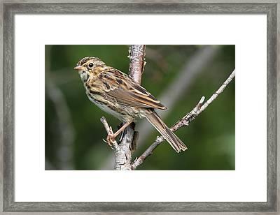 Savannah Sparrow Framed Print