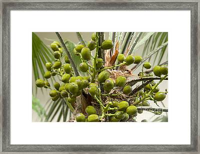 Saw Palmetto Berries Framed Print by Inga Spence