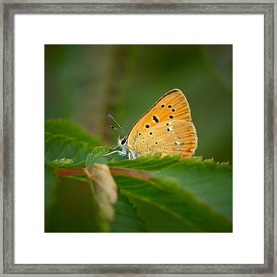 Framed Print featuring the photograph Scarce Copper by Jouko Lehto