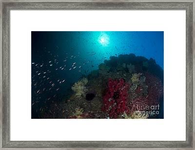 School Of Anthias Fish Swimming Framed Print