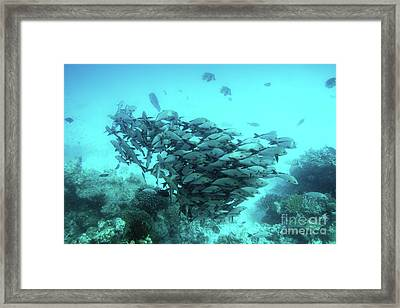 School Of Fish Fish In Indian Ocean, Maldives. Framed Print by Michal Bednarek