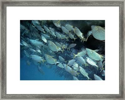 School Of Fish Framed Print by Joann Shular