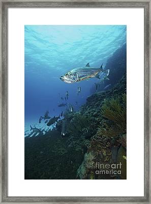 School Of Tarpon, Bonaire, Caribbean Framed Print by Terry Moore