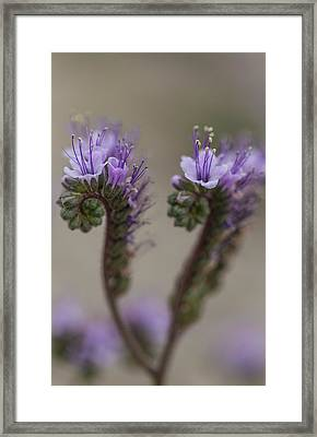 Framed Print featuring the photograph Scorpion Weed by Deborah Hughes
