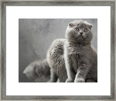 Scottish Fold Cats Framed Print