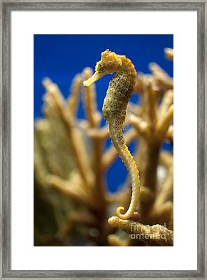 Sea Horses Framed Print