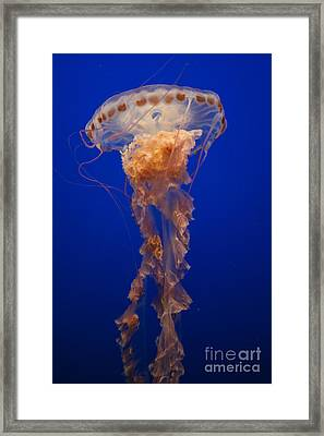 Sea Nettle Framed Print