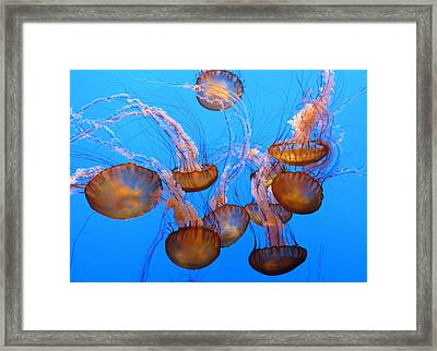 Sea Nettles Ballet 1 Framed Print by Diane Wood