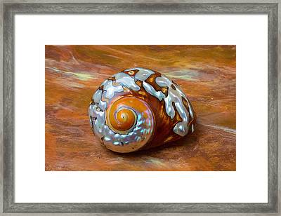 Sea Snail Shell Framed Print by Garry Gay