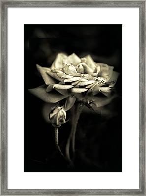 Sepia Rose Framed Print by Jessica Jenney