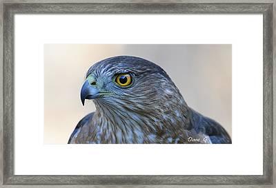 Sharp-shinned Hawk Framed Print by Diane Giurco