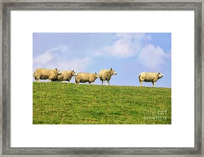 Framed Print featuring the photograph Sheep On Dyke by Patricia Hofmeester