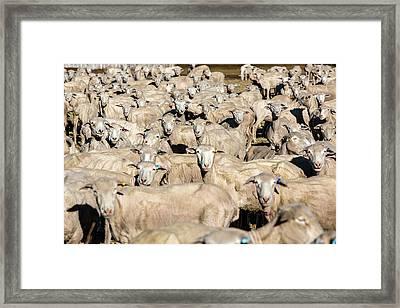 Sheep Sheared Framed Print by Todd Klassy