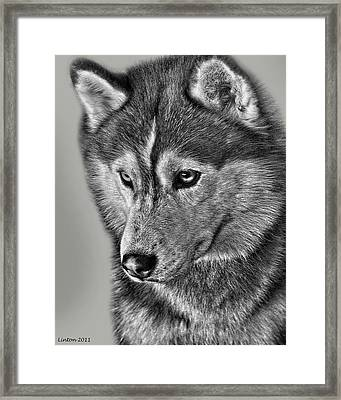 Siberian Husky 2 Framed Print by Larry Linton