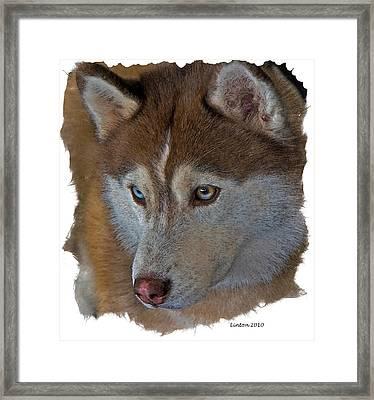 Siberian Husky Framed Print by Larry Linton