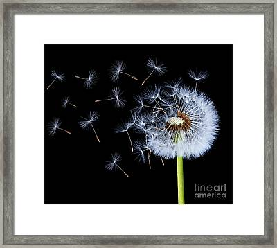 Silhouettes Of Dandelions Framed Print