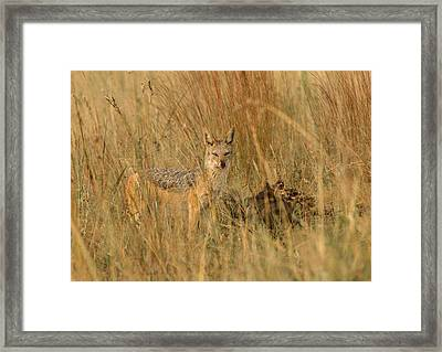 Silver Backed Jackal Framed Print by Patrick Kain