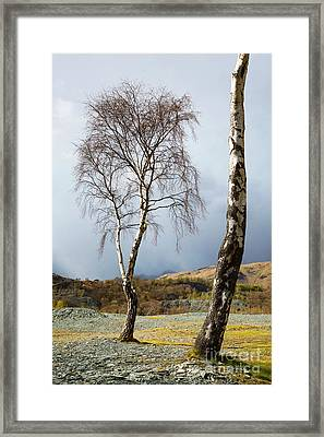 Silver Birch - Hodge Close Framed Print