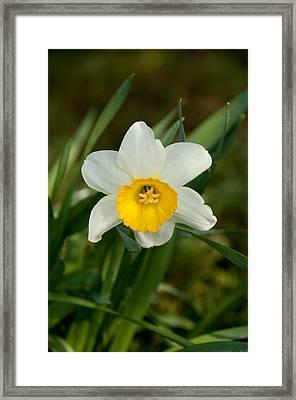 Single Daffodil Framed Print by Charlet Simmelink