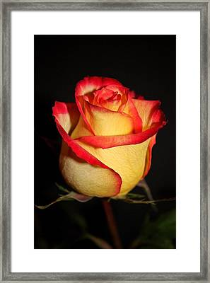 Single Rose Framed Print by Cathie Tyler