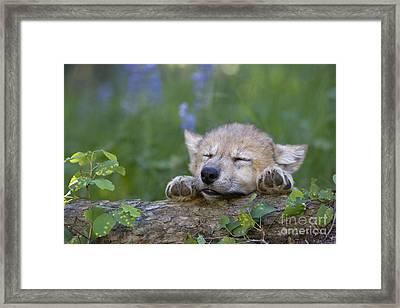 Sleepy Wolf Cub Framed Print by Jean-Louis Klein & Marie-Luce Hubert
