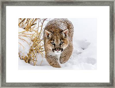 Sneaky Cougar Framed Print by Mike Centioli