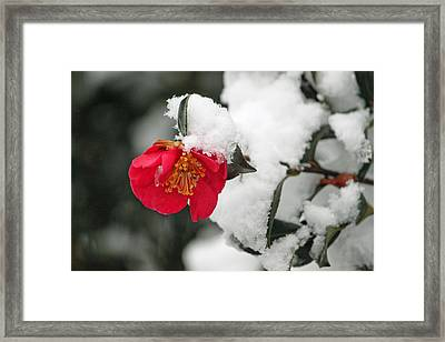 Snow Bloom Framed Print by Suzanne Gaff