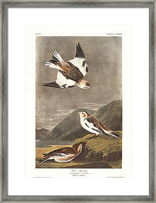 Snow Bunting Framed Print by Rob Dreyer