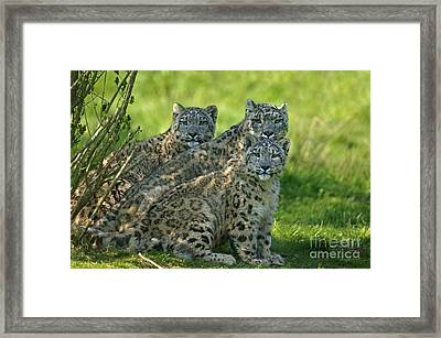 Snow Leopard Or Ounce Uncia Uncia Framed Print