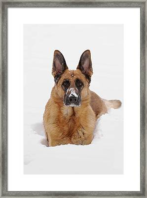 Snow Portrait Of A German Shepherd Dog Framed Print by Angie Tirado