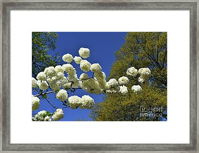 Framed Print featuring the photograph Snowballs by Skip Willits