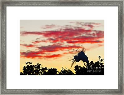 Snowy Egret At Sunset Framed Print