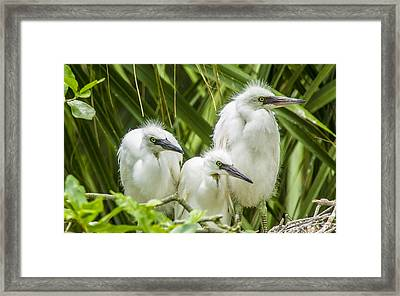Framed Print featuring the photograph Snowy Egret Chicks by Paula Porterfield-Izzo