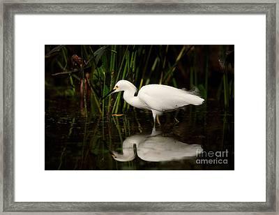 Snowy Egret Framed Print by Matt Suess
