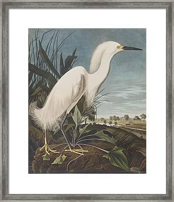 Snowy Heron  Framed Print by John James Audubon