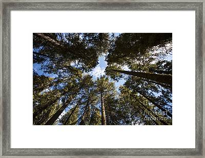 Soaring Sequoias Framed Print by Timothy Johnson
