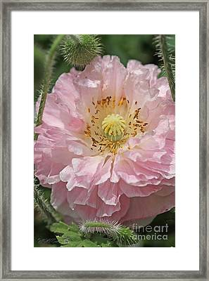 Soft Pink And White Poppy From The Angel's Choir Mix Framed Print