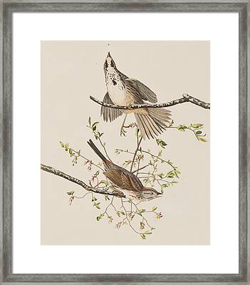 Song Sparrow Framed Print by John James Audubon