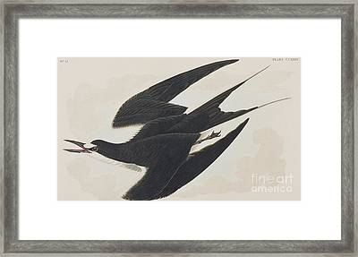 Sooty Tern Framed Print by John James Audubon