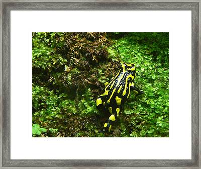 Southern Corroboree Frog Strolling Framed Print by Margaret Saheed