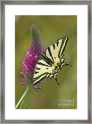 Southern Swallowtail Butterfly Framed Print by Steen Drozd Lund