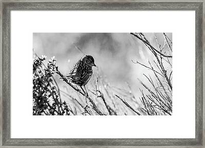 Snarky Sparrow, Black And White Framed Print