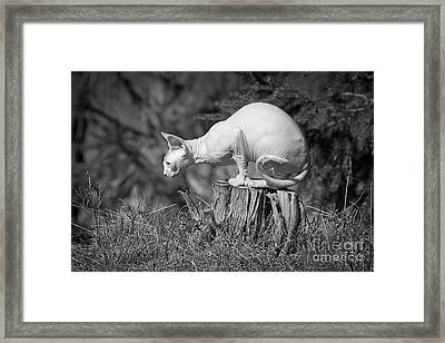 Sphynx Cat Sitting On A Stump In The Woods. Framed Print by Allan Wallberg