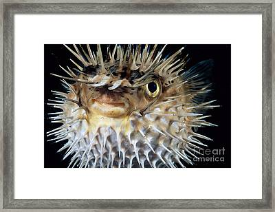 Spiny Puffer Framed Print by Dave Fleetham - Printscapes
