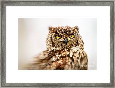 Spotted Eagle-owl  Framed Print by Nick Biemans