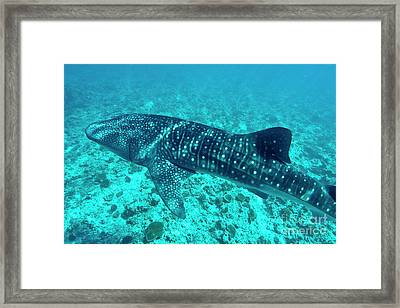 Spotted Whale Shark Framed Print by Sami Sarkis
