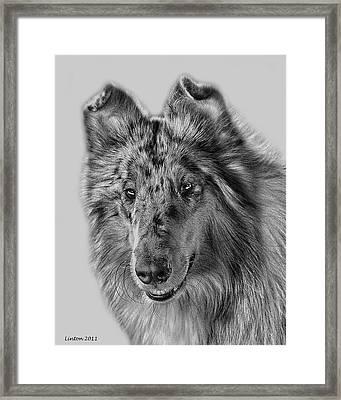 Standard Collie Framed Print