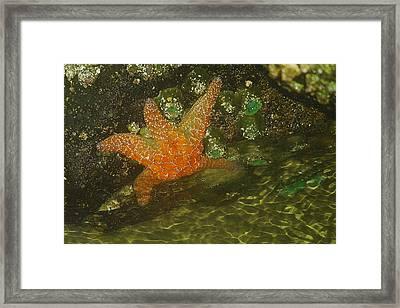 Starfish Framed Print by Jeff Swan