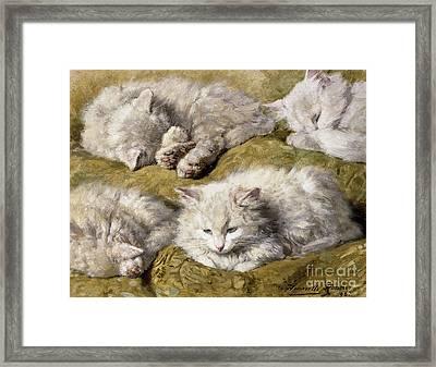 Studies Of A Long Haired White Cat Framed Print